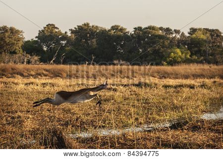 Leechwe leaping over a channel in the Okavango Delta