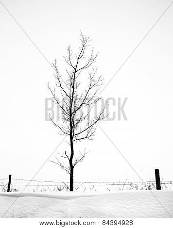 Skinny bare tree in winter