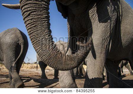 A close up shot of an elephants trunk
