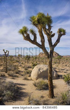 Joshua Tree In National Park