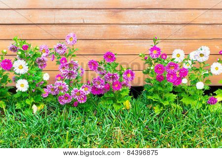 Colorful Asters Flowerin Garden