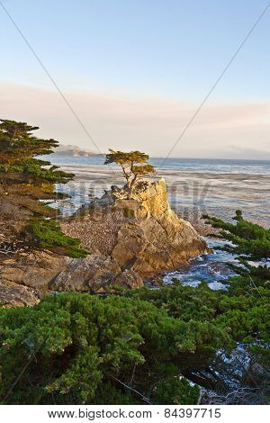 Cypress At The Coastline In Sunset