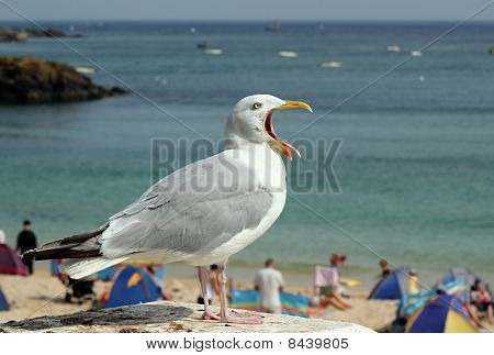 Seagull With Mouth Wide Open And Tongue Sticking Out.