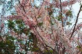 image of cassia  - Tree pink flower or Cassia bakeriana Craib is beautiful tropical flower - JPG