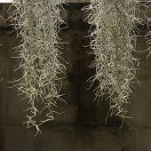 pic of tillandsia  - home decorated garden with spanish moss hanging strand - JPG