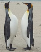 foto of falklands  - King Penguins  - JPG