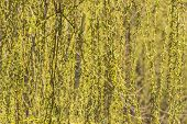 image of weeping  - Hanging flowering branches of a weeping willow with young leaves and catkins in spring - JPG