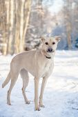 foto of herding dog  - Red mixed breed dog standing on the snow - JPG