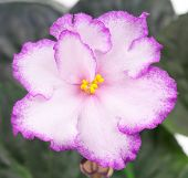 stock photo of angiosperms  - Beautiful pink violet flower over leaves background - JPG