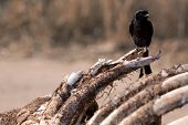 stock photo of veld  - Fork Tailed Drongo sitting on a giraffe carcass - JPG