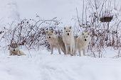 stock photo of horrific  - Several Arctic Wolves in a winter scene - JPG