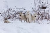 foto of horrific  - Several Arctic Wolves in a winter scene - JPG