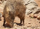 foto of javelina  - Native Peccary  - JPG