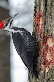stock photo of woodpecker  - Pileated Woodpecker  - JPG