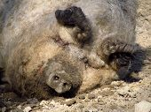 stock photo of hairy  - portrait of a sleeping funny fat hairy pig - JPG