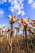 stock photo of corn stalk  - Dried corn in a corn field against blue sky - JPG
