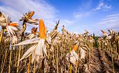 image of corn stalk  - Dried corn in a corn field against blue sky - JPG