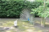 picture of peahen  - peacock and peahen performing a ritual mating dance - JPG