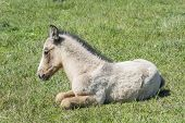 stock photo of colt  - Free colt lying in the countryside wildlife - JPG