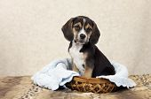 stock photo of puppy beagle  - A seven week old Beagle puppy sitting in a basket with copy space - JPG