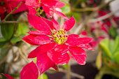 image of poinsettia  - Red Christmas poinsettia plants in the garden - JPG