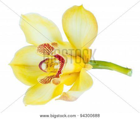 Beautiful Yellow Cymbidium Flower Orchid Close Up Isolated On White Background
