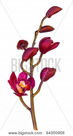 Beautiful Purple Cymbidium Flower Orchid Close Up In Garden.