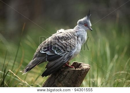 Crested pigeon (Ocyphaps lophotes), commonly called the atopknot pigeon. Wildlife animal.