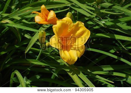 Yellow Freesia flowers with leaves