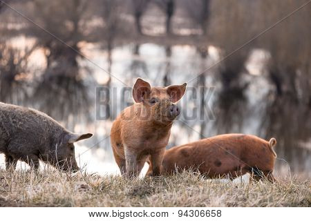 Three Mangulista Furry Pigs