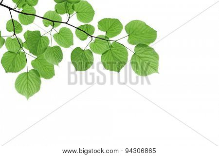 Branch with fresh green leaves - isolated on white background