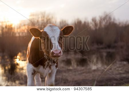 Calf Cow Looking At The Camera