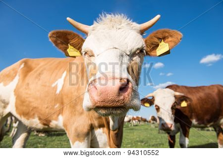 Two Cute Cows