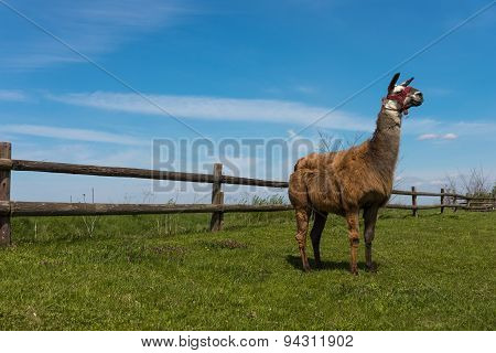 Lama Posing In Front Of The Wooden Fence
