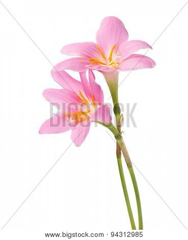 Two pink lily isolated on a white background. Rosy Rain lily