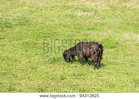 Black Goat Eating Plant