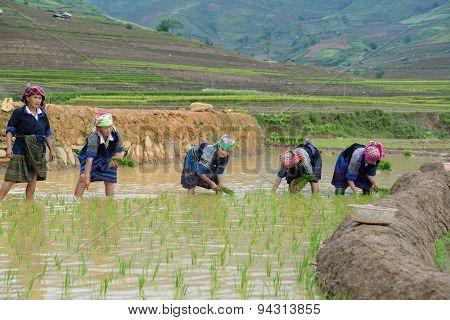 Farmers work in a terraced rice field in Mucangchai, Vietnam