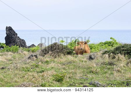 Cow Lying Down On A Grass Against On The Seascape