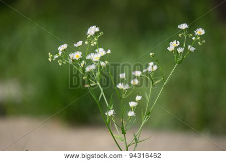 Dainty White Flowers