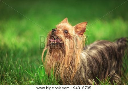 curious cute yorkshire terrier puppy dog is looking at something up while standing in the grass