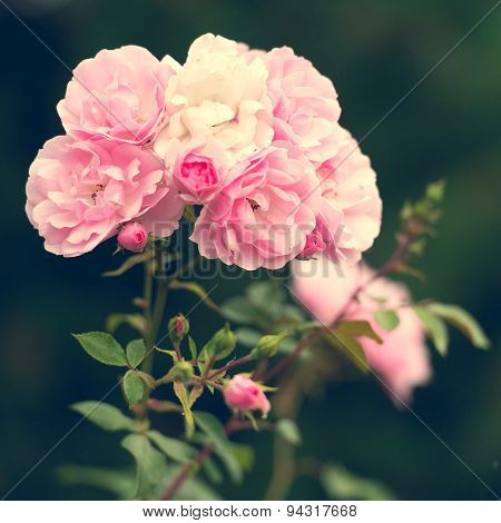 pink roses in the garden. soft focus