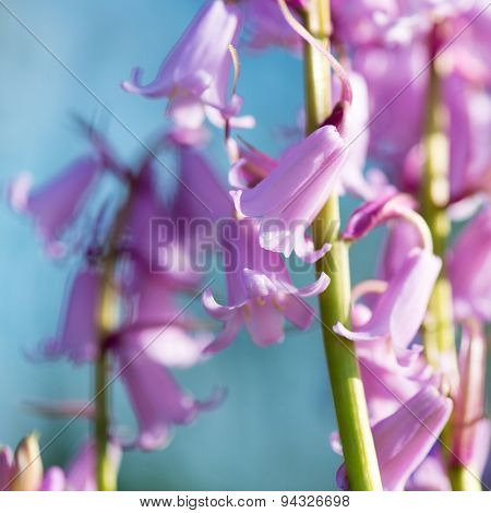 pink wild hyacinths in nature