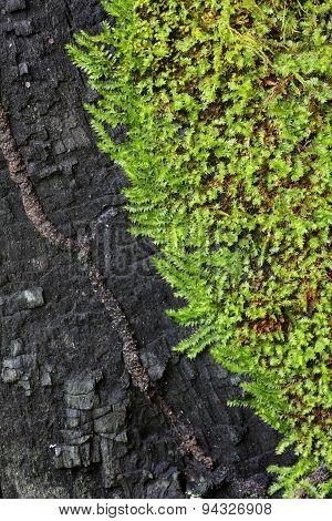 Moss Bark Tree