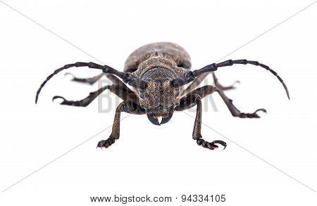 Weaver Beetle Beetle