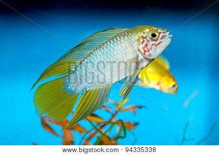 Apistogramma Fish