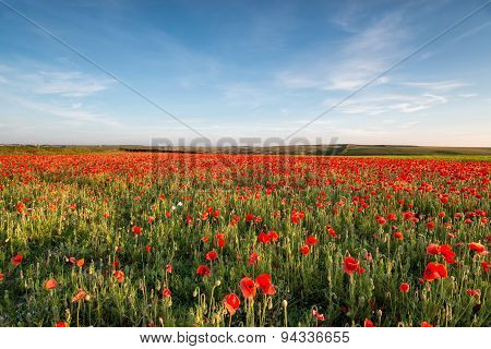 Poppy Field In Cornwall