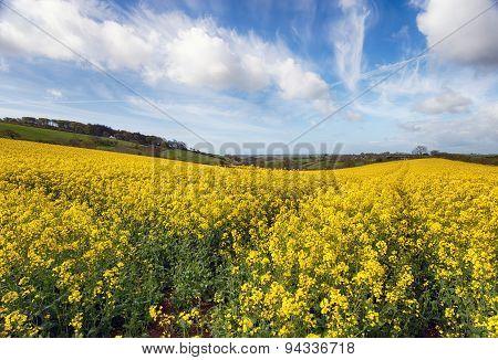 Rapeseed Field Under A Summer Sky