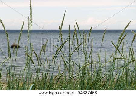 Sedge In Front Of Seashore Background