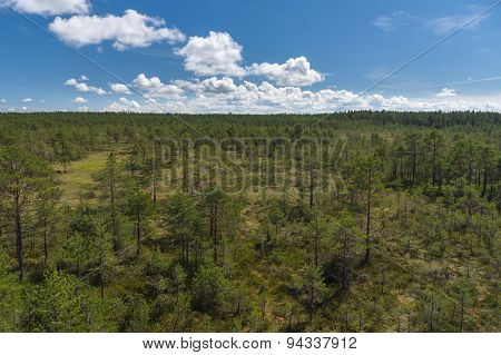 Pine Trees At Bog Area Against Blue Sky, Aerial View