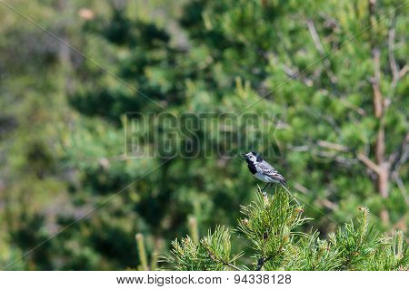 White Wagtail (motacilla Alba) On Pine Tree Branch, National Bird Of Latvia